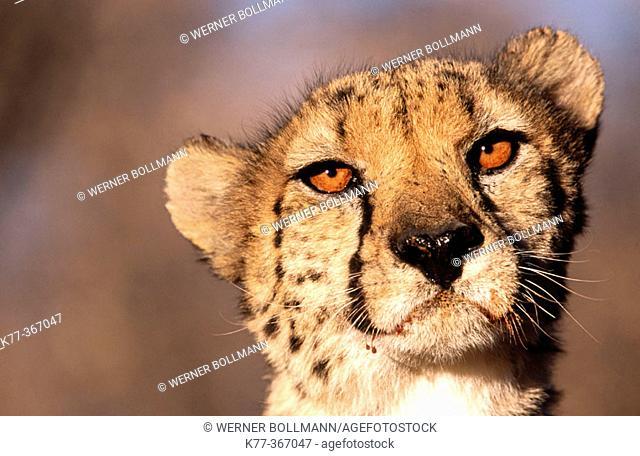 Cheetah (Acinonyx jubatus) in captivity. Game Farm. Namibia