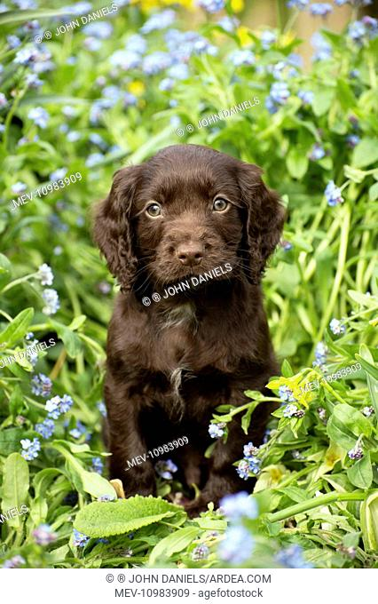 Dog - Cocker Spaniel puppy about 6 weeks old - in a flower bed