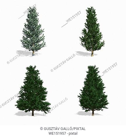 Fraser Fir trees, isolated on white background