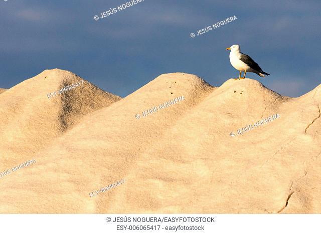 Seagull in the saltwork, Murcia, Spain, Mar menor