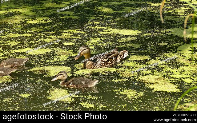 duck with ducklings on a pond in Germany