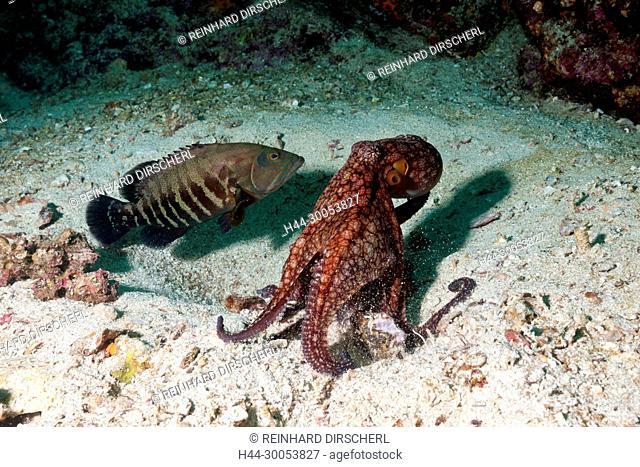 Octopus, Octopus sp., La Paz, Baja California Sur, Mexico