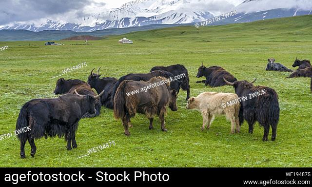 Domestic Yak ( Jak, Bos mutus ) on their summer pasture, typical Yurt of herders in the background. Alaj Valley in front of the Trans-Alay mountain range in the...