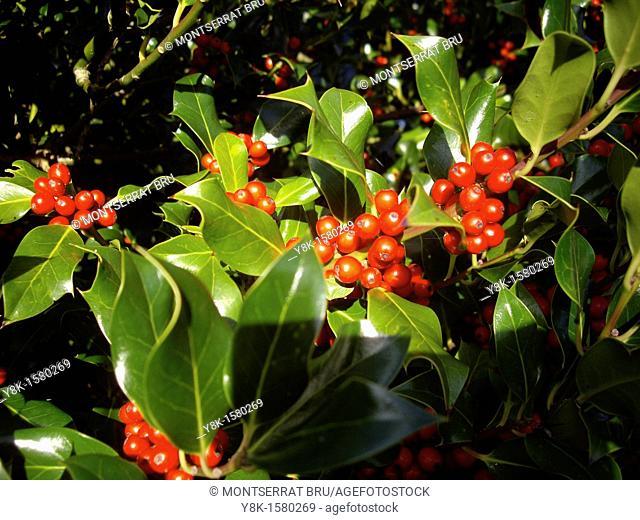 Ilex aquifolium with red berries