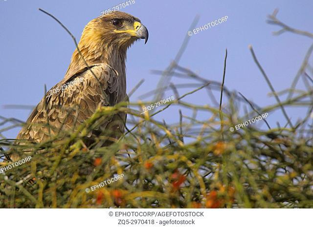 Tawny Eagle, Aquila rapax Jaisalmer, Rajasthan, India