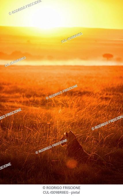 Lioness in plains of Masai Mara, Kenya