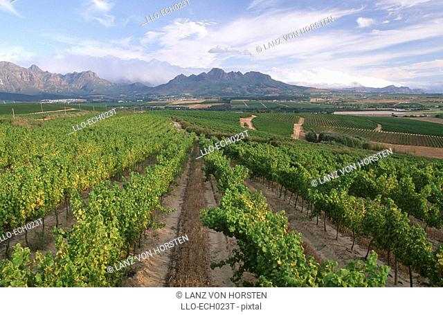 Green vineyards and mountains. Stellenbosch, Boland District, Western Cape Province, South Africa, Africa