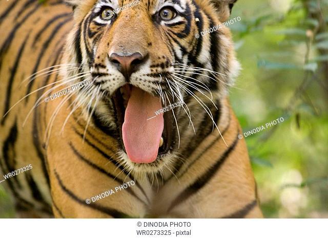 Tiger Panthera tigris tongue sticking out , Ranthambore tiger reserve , Rajasthan , India