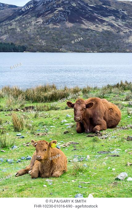 Domestic Cattle, Luing cow and calf, resting beside freshwater loch, Loch Ba, Benmore Estate, Isle of Mull, Inner Hebrides, Scotland, May