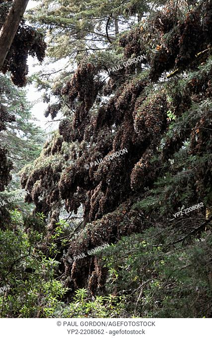 Clusters of monarch butterflies on sacred fir and pine trees at the Monarch Butterfly Biosphere Reserve in Cerro Pelon - Donato Guerra, State of Mexico, Mexico
