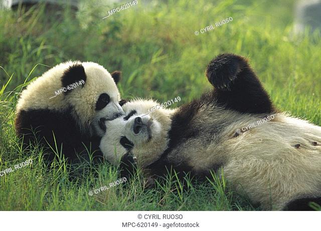Giant Panda Ailuropoda melanoleuca, endangered, female and one year old cub playing in the grass at the Chengdu Panda Breeding Research Center, China