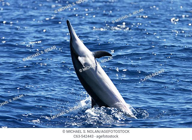 Male Hawaiian Spinner Dolphin (Stenella longirostris) spinning in the AuAu Channel off the coast of Maui, Hawaii, USA. Pacific Ocean