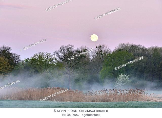 Meadow landscape in the morning mist, full moon, Middle Elbe Biosphere Reserve, Saxony-Anhalt, Germany