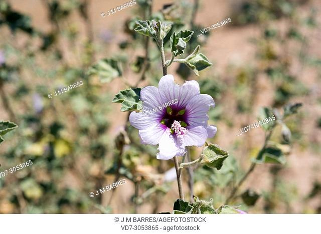 Sea mallow (Lavatera maritima) is a shrub native to coasts of western Mediterranean Basin. This photo was taken in Cabo de Gata Natural Park, Almeria province