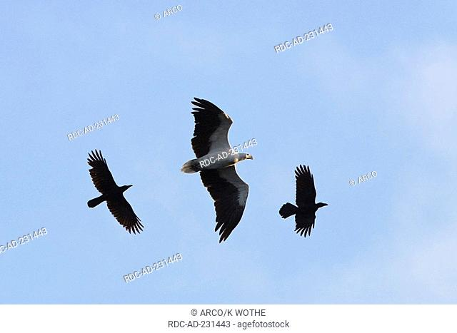 Jungle Crows attacking White-bellied Sea-Eagle, Andaman Islands, India, Haliaeetus leucogaster, Corvus macrorhynchos