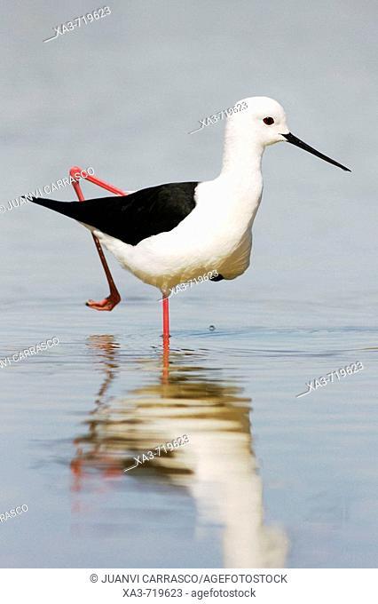 Black-winged Stilt (Himantopus himantopus). Almeria province, Andalucia, Spain