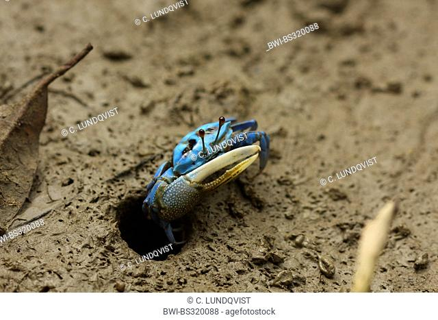 blue fiddler crab leaving its whole, Malaysia, Sarawak, Bako National Park