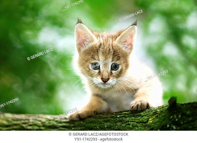 Jungle Cat, felis chaus, Cub laying on Branch