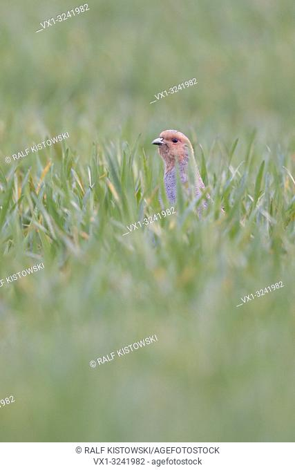 Grey Partridge ( Perdix perdix ) hiding in a field of winter wheat, stretching its neck, watching curious, endangered species by intensive farming, Europe