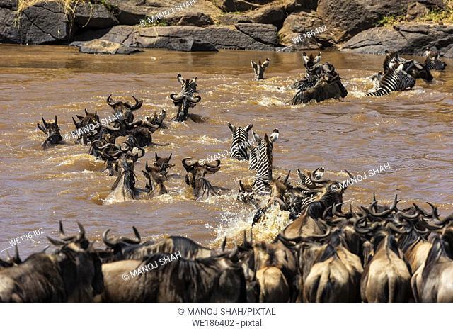 Wildebeeste and Zebra crossing Mara River