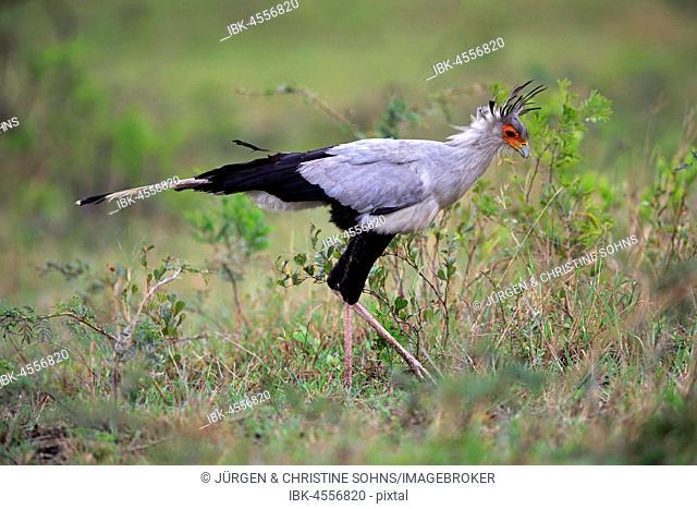 Secretary bird (Sagittarius serpentarius), adult, hunting, concentrated, Hluhluwe Umfolozi National Park, Hluhluwe iMfolozi National Park, KwaZulu Natal