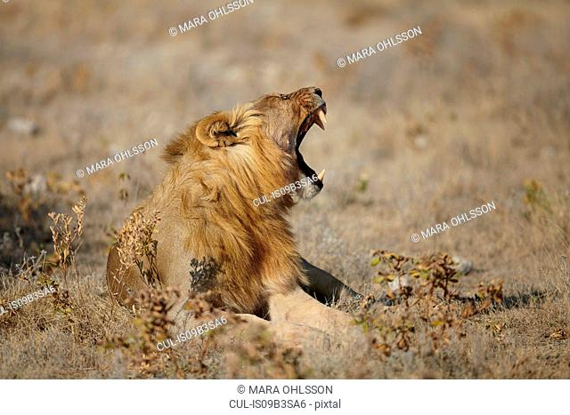Lion lying with mouth open in arid plain, Namibia, Africa