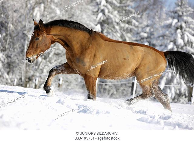 Swiss Warmblood Clipped bay adult trotting in snow Germany
