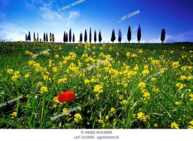 Flower meadow with poppy in front of cypress alley, Val d'Orcia, Tuscany, Italy, Europe