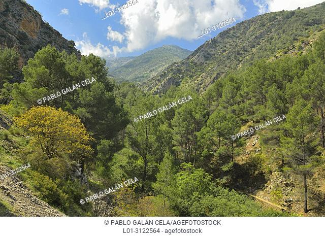 Pine grove in Bedmar river valley, Sierra Magina, Jaen province, Andalusia, Spain