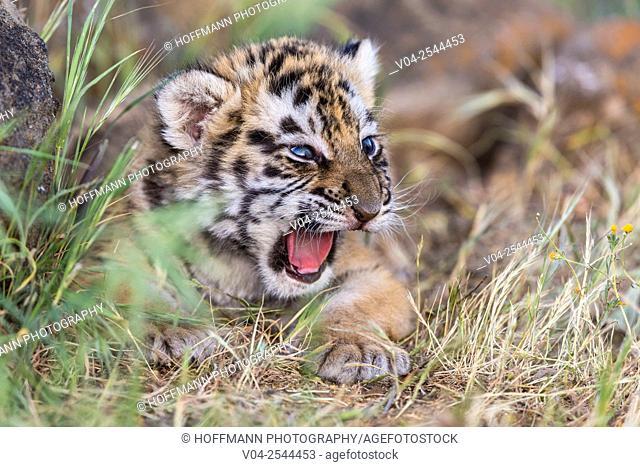 Meowing little tiger cub (Panthera tigris altaica), captive, California, USA