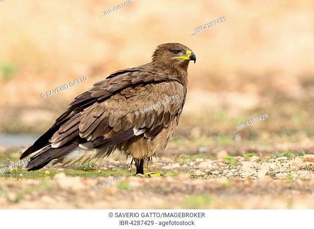 Steppe Eagle (Aquila nipalensis), immature, on the ground, Salalah, Dhofar, Oman