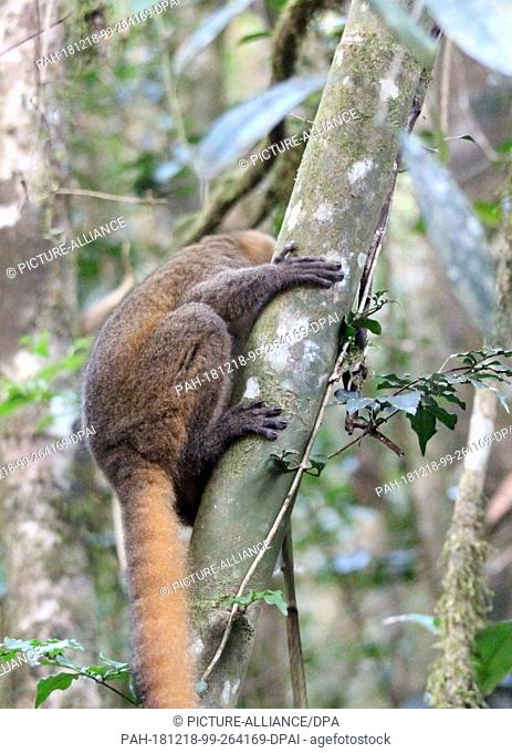 26 August 2018, Madagascar, -: An endangered Golden Bamboolemur (Hapalemur aureus) clings to a bamboo plant in the Ranomafana National Park in southeast...