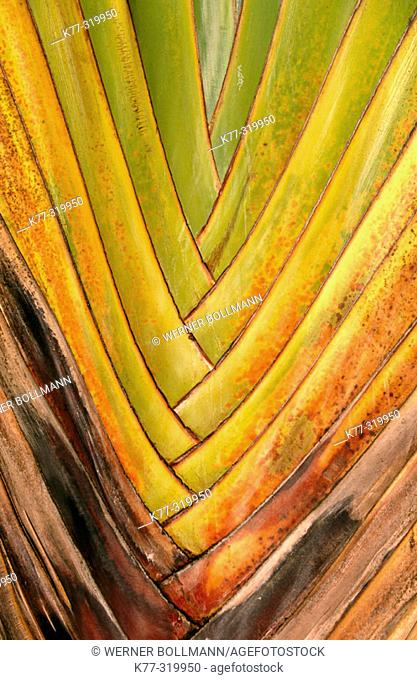 Detail of Traveler's Palm (Ravenala madagascariensis)