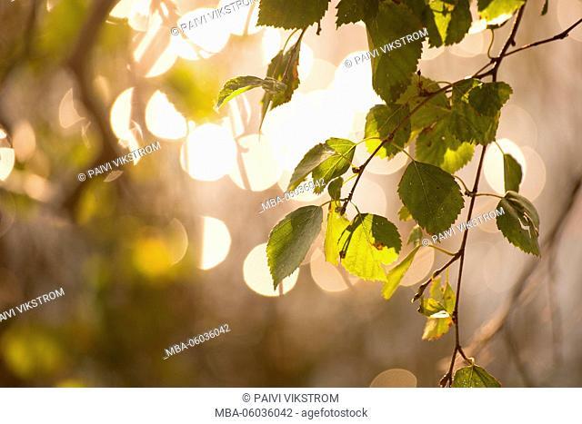 Birch twig with bright bokeh lights