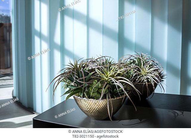 decorative plant pot crasa on blue background