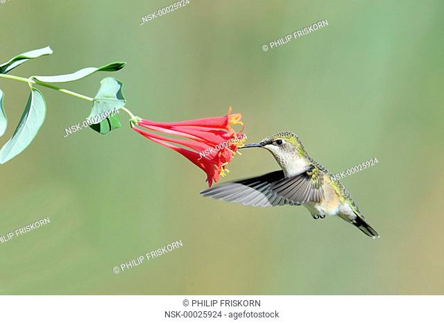 A Ruby-throated Hummingbird (Lonicera caprifolium) fouraging on Honeysuckle, United States of America, Missouri, Blue Skies Prairie Reserve