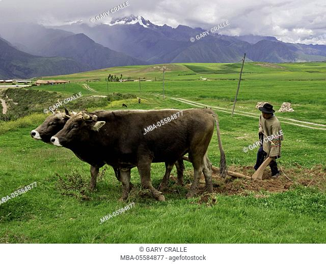 Quechua farmer demonstrates traditional plowing with oxen