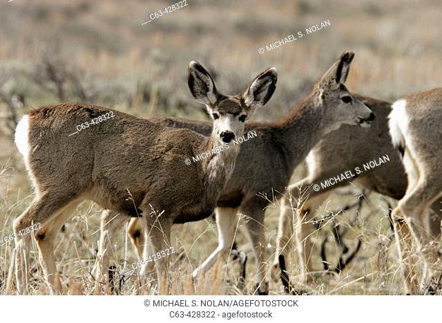 Young mule deer (Odocoileus hemionus) in sage, Jackson Hole, Wyoming