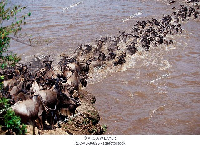 Blue Wildebeests crossing Mara river Masai Mara game reserve Kenya Connochaetes taurinus albojubatus