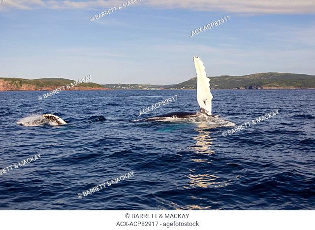 Humpback Whale flipper slapping, (Megaptera novaeangliae), Witless Bay Ecological Reserve, Newfoundland, Canada