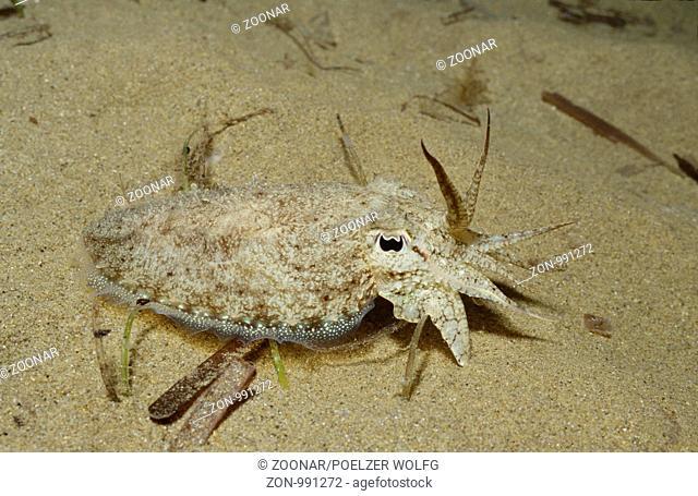Sepia officinalis, Gemeine Sepia, Common Cuttlefish, Kroatien, Adria, Mittelmeer