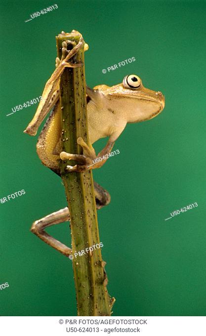 Tree frog, Hyla semilineata, Hylidae, Anura, Brazil