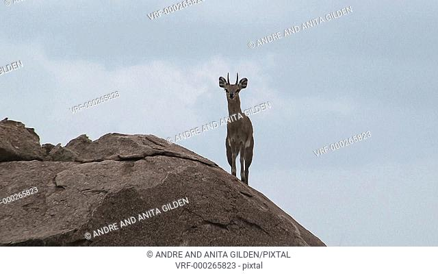 Klipspringer (Oreotragus Oreotragus) standing on Koppies looking at camera, with dark clouds in background