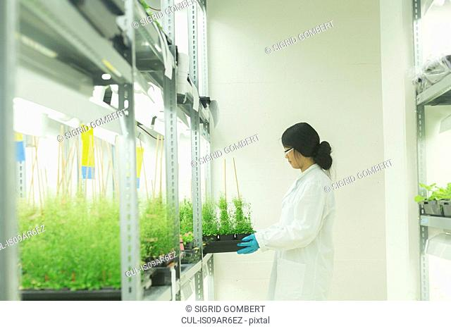 Female scientist removing plant samples in greenhouse lab