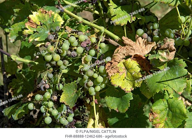 Noble rot or grey mould, Botrytis cinerea, on maturing grapes on the vine with evidence of a fungicidal spay deposit such as Bordeaux mixture on the leaves