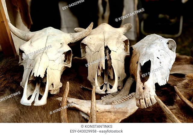 Photo of three skulls of animals close up