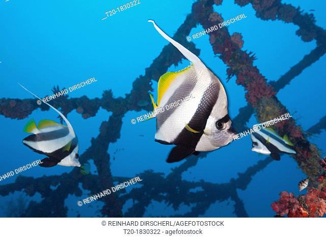 Pennant Bannerfish at Kuda Giri Wreck, Heniochus diphreutes, South Male Atoll, Maldives