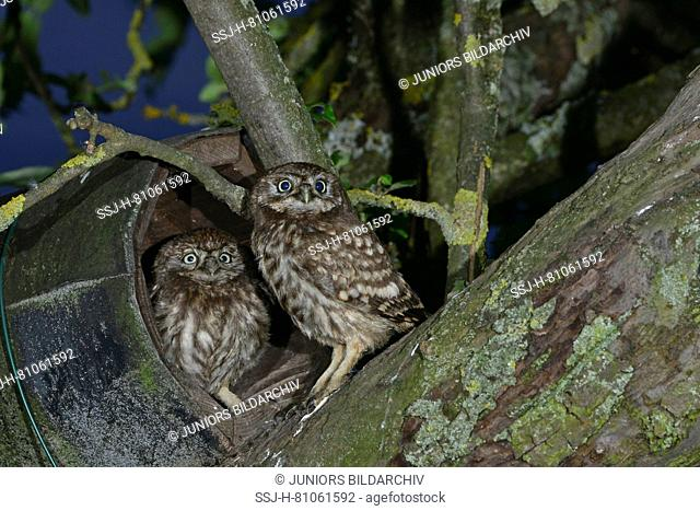 Little Owl (Athene noctua). two chicks just unfledged, climbing around the treetop of an Appletree nearby theier nesting box