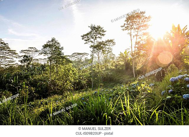Sunlit view of green landscape and trees, Wana Giri, Bali, Indonesia