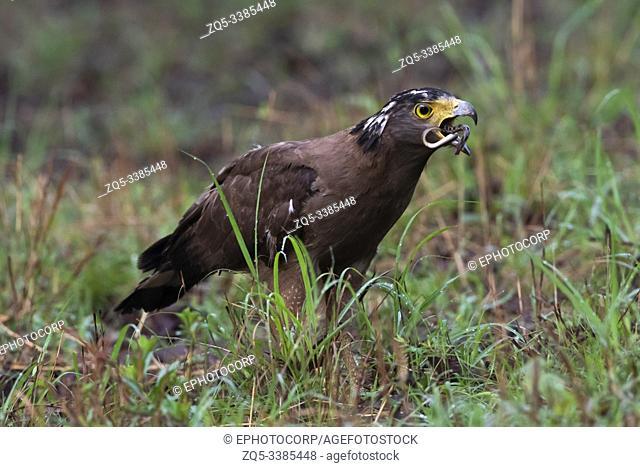 Crested serpent eagle swallowing kill at Tadoba tiger Reserve in Chandrapur, Maharashtra, India